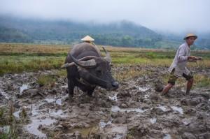 Luang Prabang, uprawa ryżu